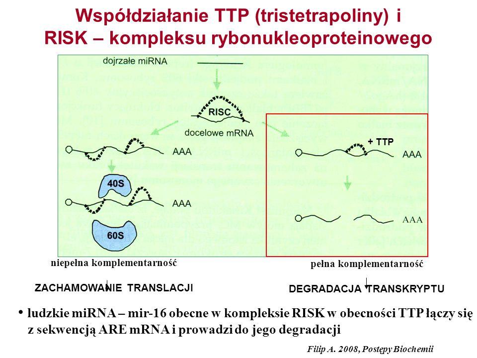 Współdziałanie TTP (tristetrapoliny) i RISK – kompleksu rybonukleoproteinowego