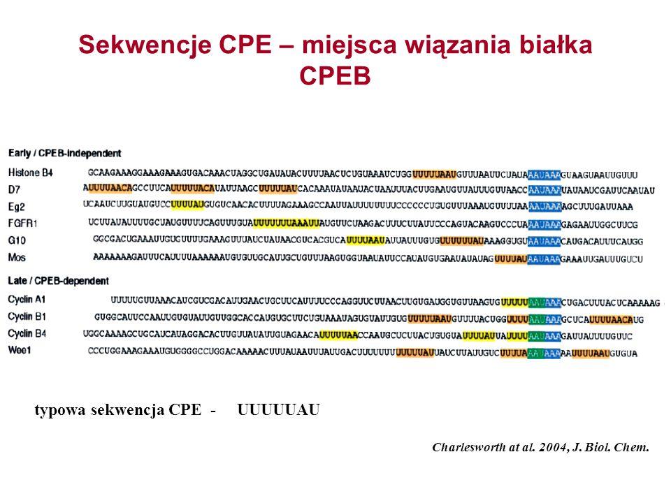 Sekwencje CPE – miejsca wiązania białka CPEB