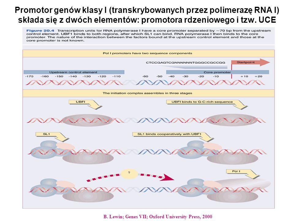 Promotor genów klasy I (transkrybowanych przez polimerazę RNA I) składa się z dwóch elementów: promotora rdzeniowego i tzw. UCE