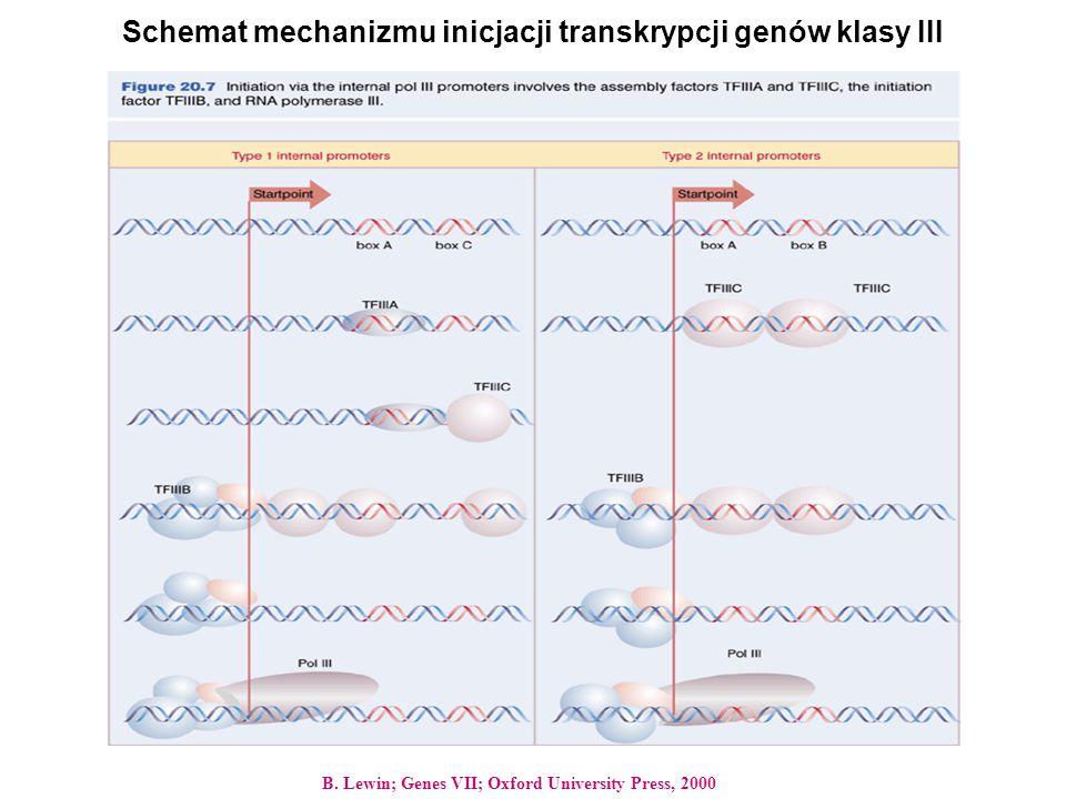 Schemat mechanizmu inicjacji transkrypcji genów klasy III