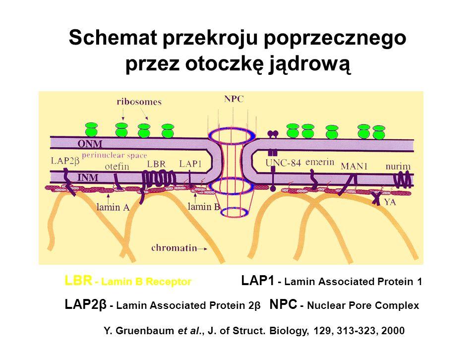 Schemat przekroju poprzecznego przez otoczkę jądrową