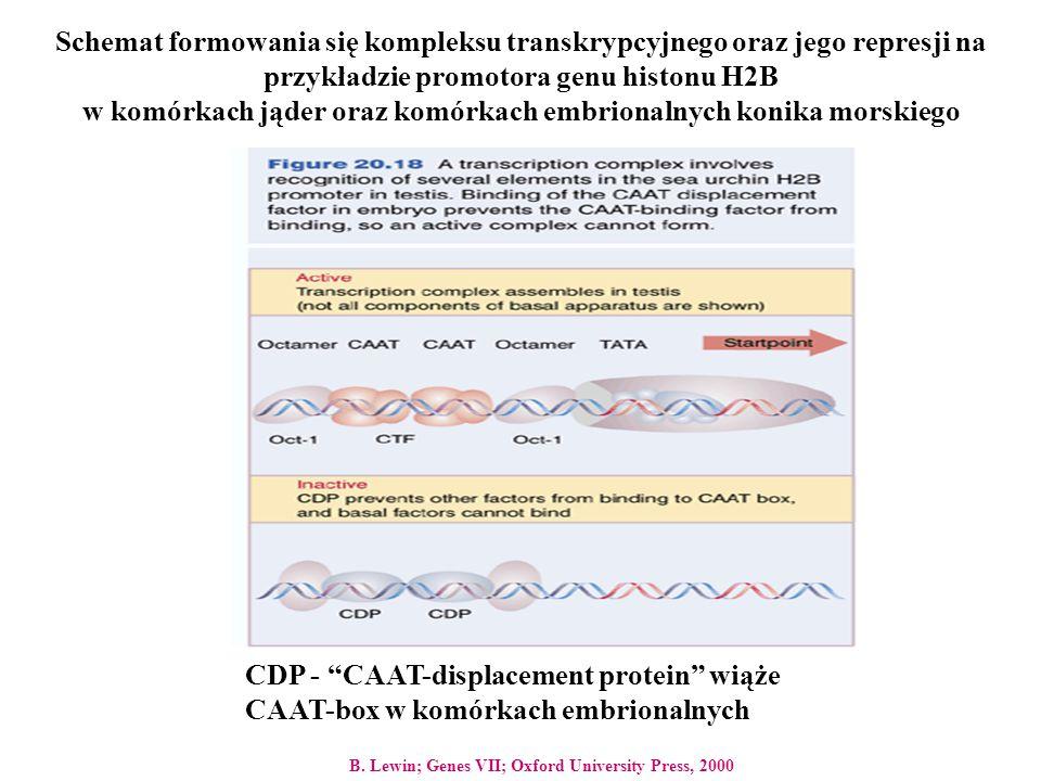 CDP - CAAT-displacement protein wiąże