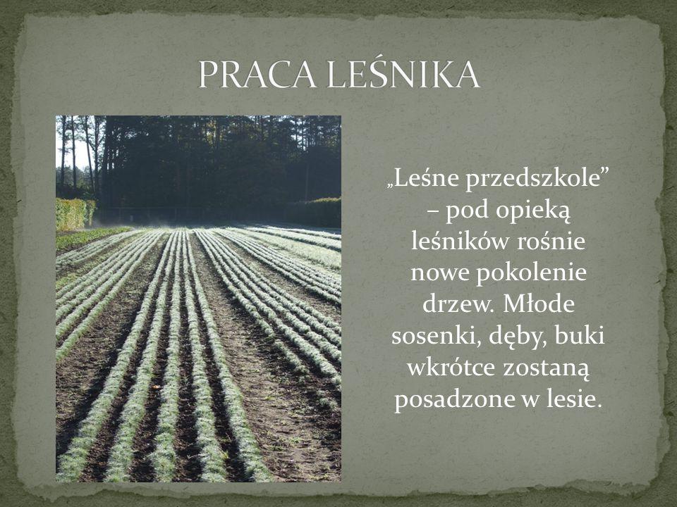 """PRACA LEŚNIKA """"Leśne przedszkole – pod opieką leśników rośnie nowe pokolenie drzew."""