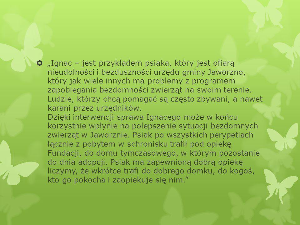 """""""Ignac – jest przykładem psiaka, który jest ofiarą nieudolności i bezduszności urzędu gminy Jaworzno, który jak wiele innych ma problemy z programem zapobiegania bezdomności zwierząt na swoim terenie."""