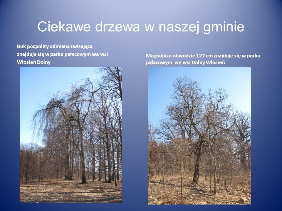 Ciekawe drzewa w naszej gminie