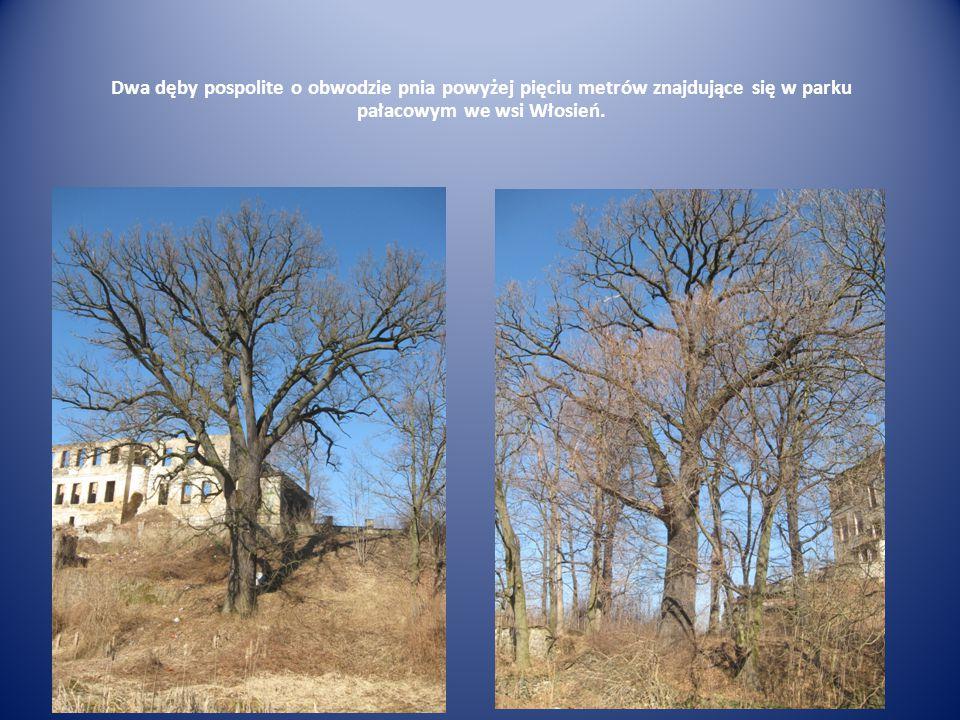 Dwa dęby pospolite o obwodzie pnia powyżej pięciu metrów znajdujące się w parku pałacowym we wsi Włosień.