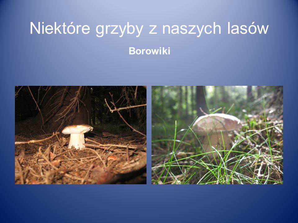 Niektóre grzyby z naszych lasów