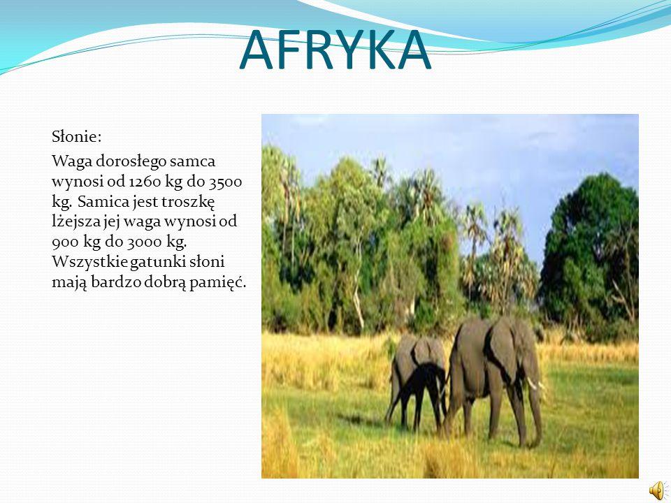 AFRYKA Słonie: