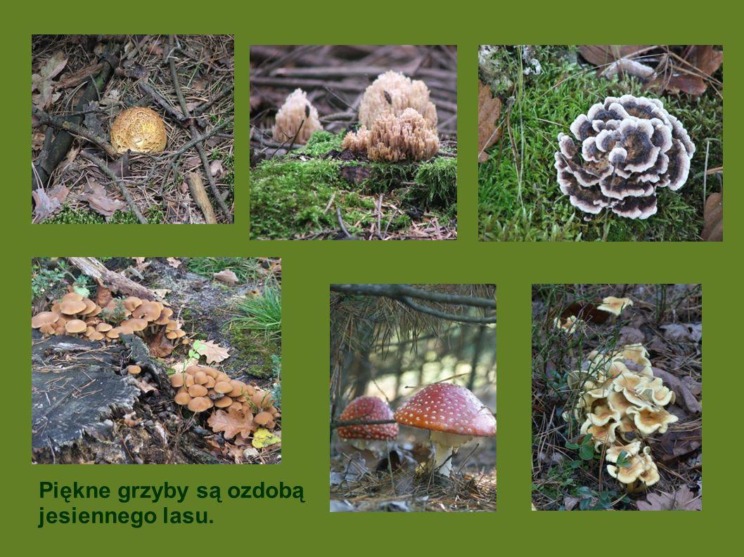 Piękne grzyby są ozdobą jesiennego lasu.