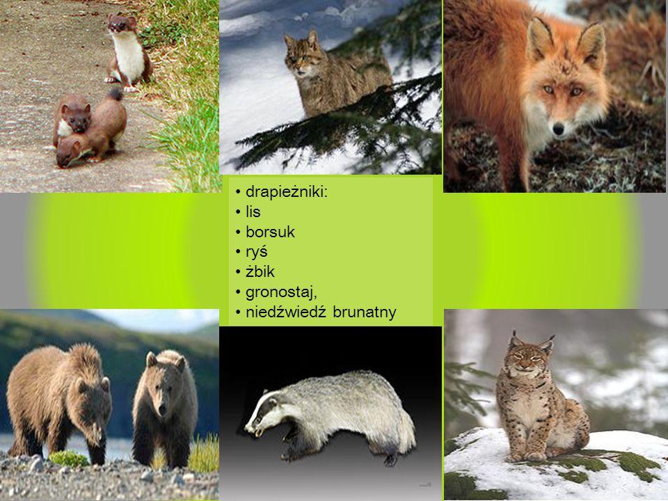 • drapieżniki: • lis • borsuk • ryś • żbik • gronostaj, • niedźwiedź brunatny
