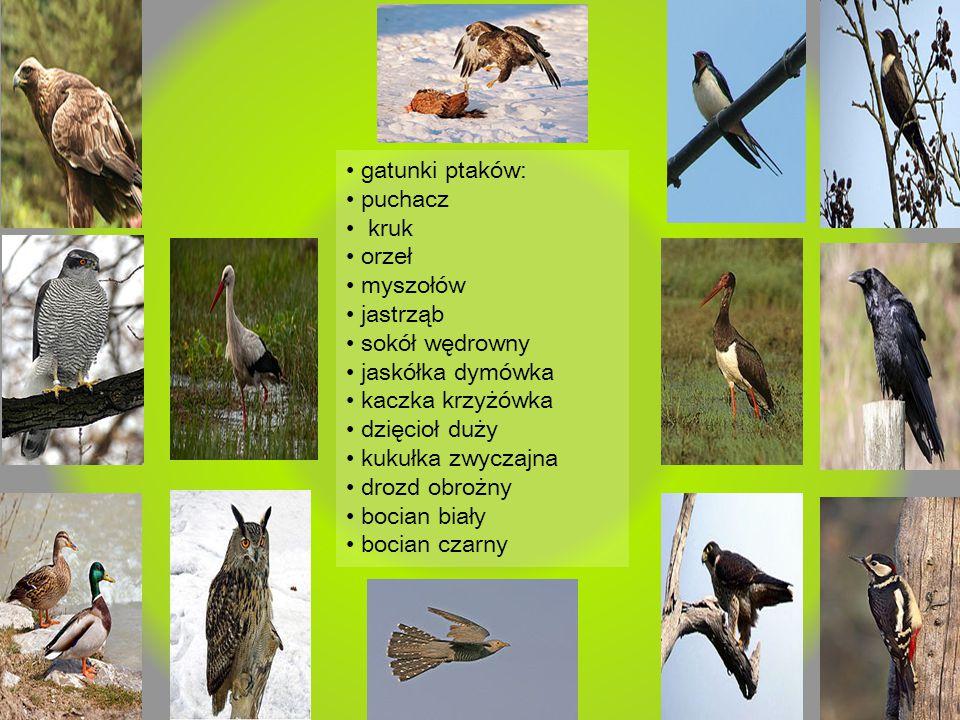 • gatunki ptaków: • puchacz. • kruk. • orzeł. • myszołów. • jastrząb. • sokół wędrowny. • jaskółka dymówka.
