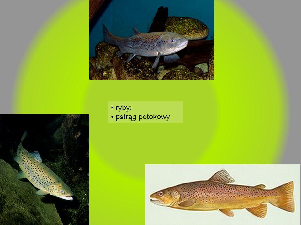 • ryby: • pstrąg potokowy