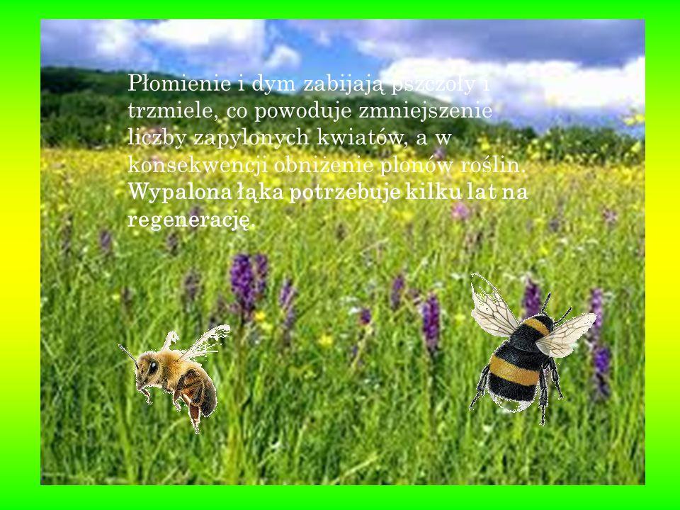 Płomienie i dym zabijają pszczoły i trzmiele, co powoduje zmniejszenie liczby zapylonych kwiatów, a w konsekwencji obniżenie plonów roślin.