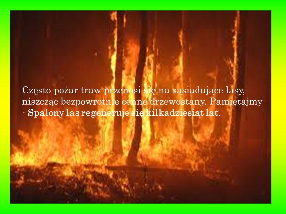 Często pożar traw przenosi się na sąsiadujące lasy, niszcząc bezpowrotnie cenne drzewostany.