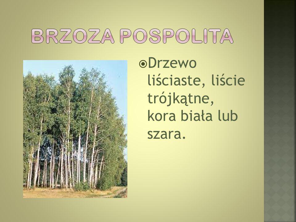 Brzoza pospolita Drzewo liściaste, liście trójkątne, kora biała lub szara.