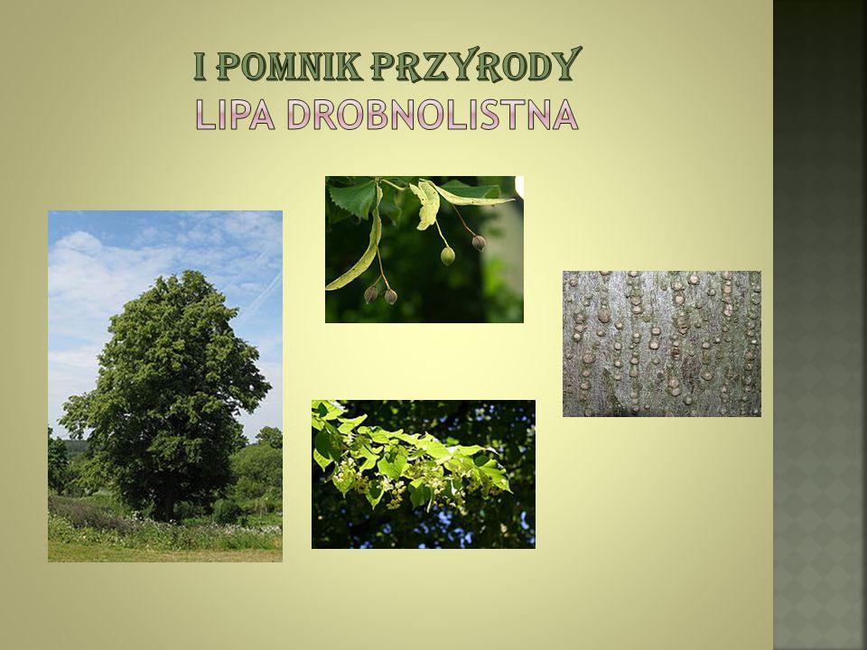 I pomnik przyrody Lipa Drobnolistna