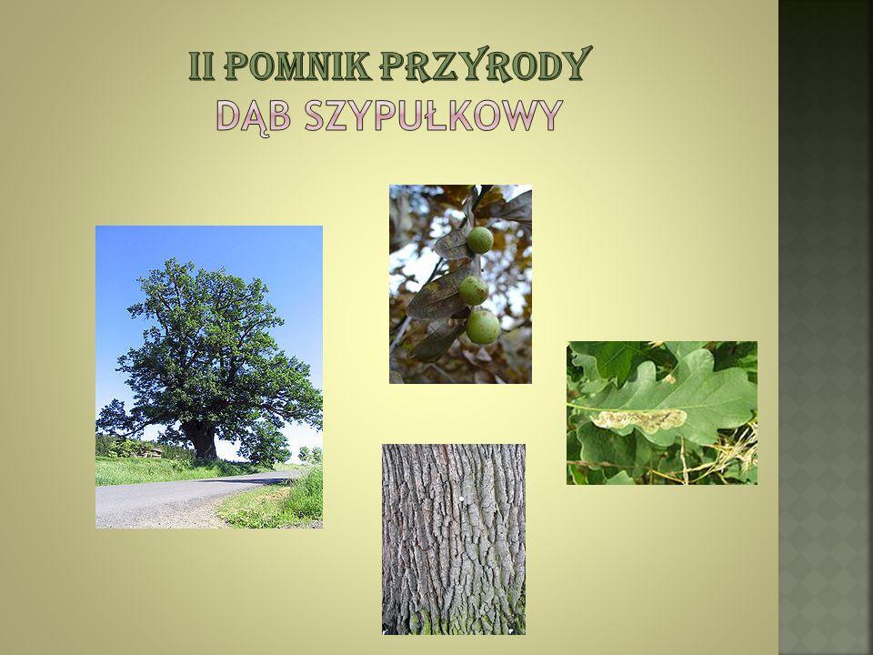 Ii pomnik przyrody Dąb Szypułkowy