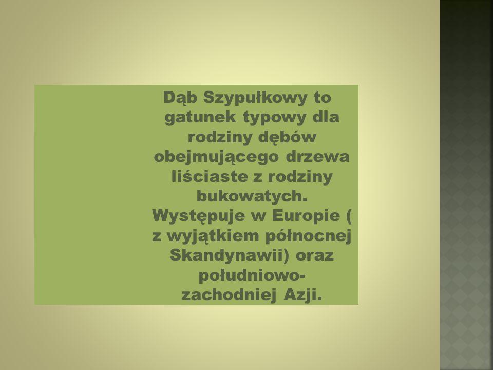 Dąb Szypułkowy to gatunek typowy dla rodziny dębów obejmującego drzewa liściaste z rodziny bukowatych.
