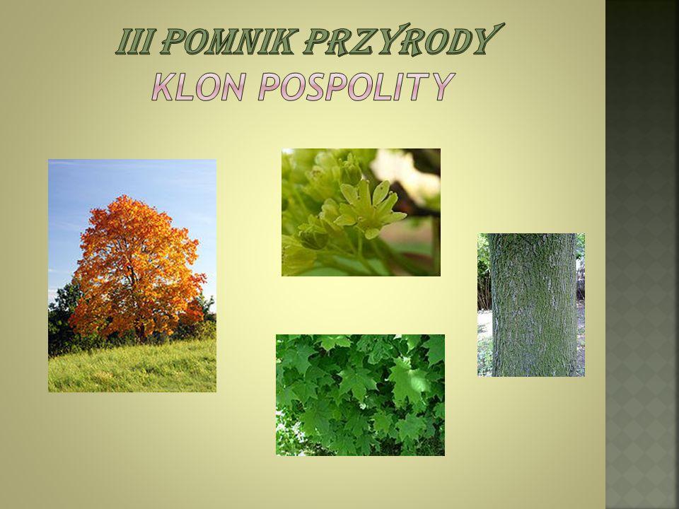 Iii pomnik przyrody Klon Pospolity