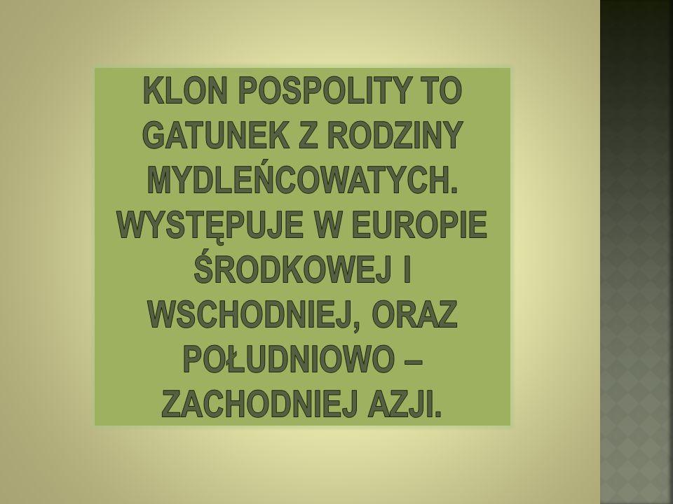 Klon Pospolity to gatunek z rodziny mydleńcowatych