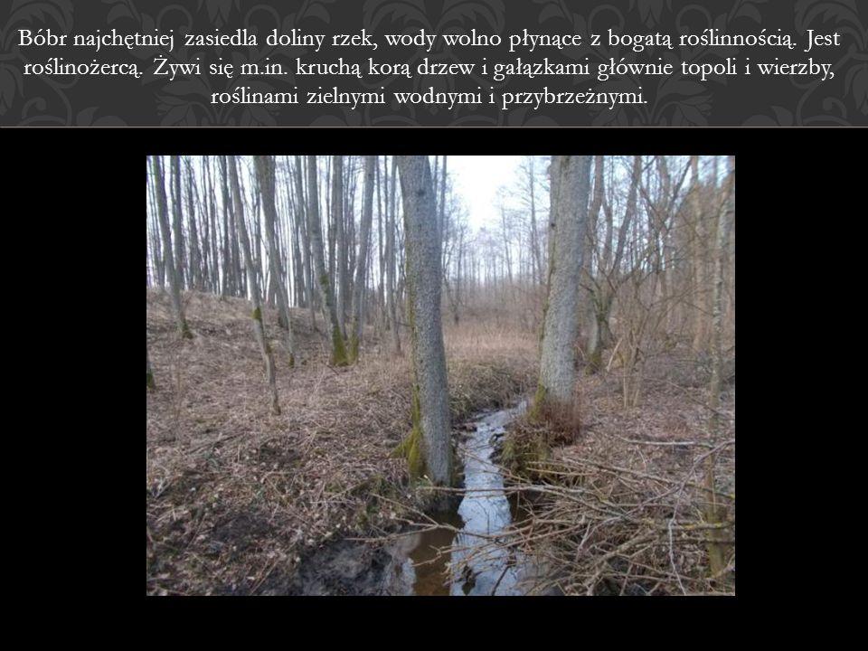 Bóbr najchętniej zasiedla doliny rzek, wody wolno płynące z bogatą roślinnością.