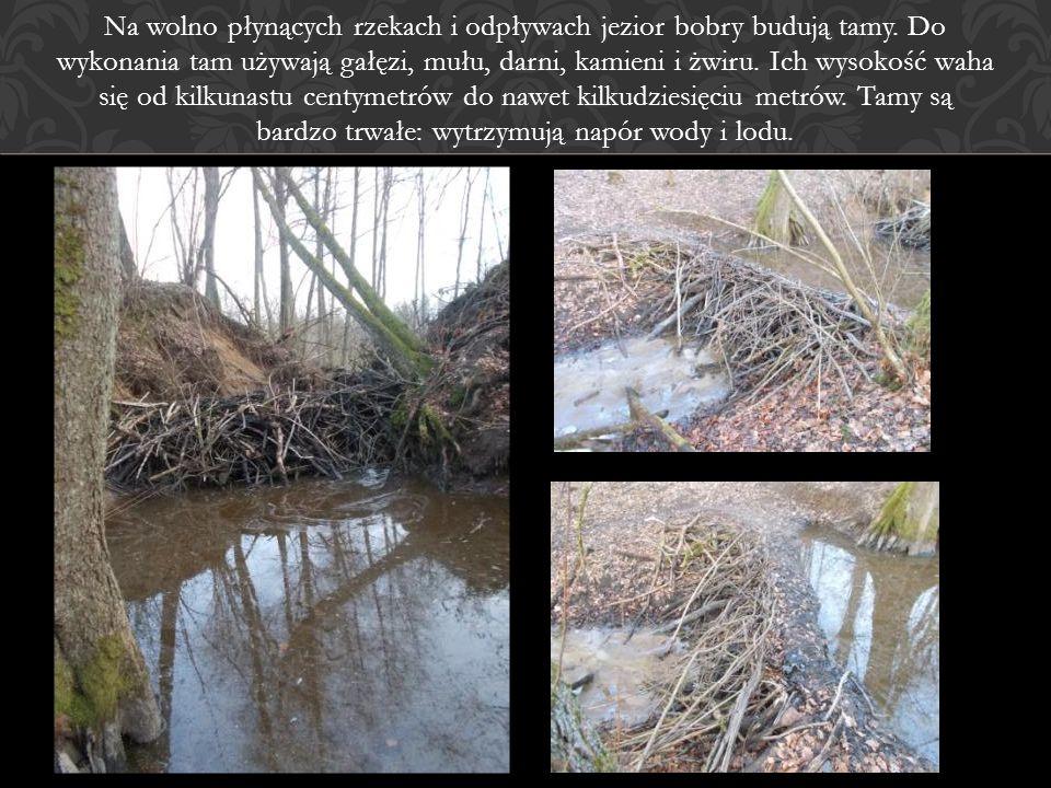 Na wolno płynących rzekach i odpływach jezior bobry budują tamy