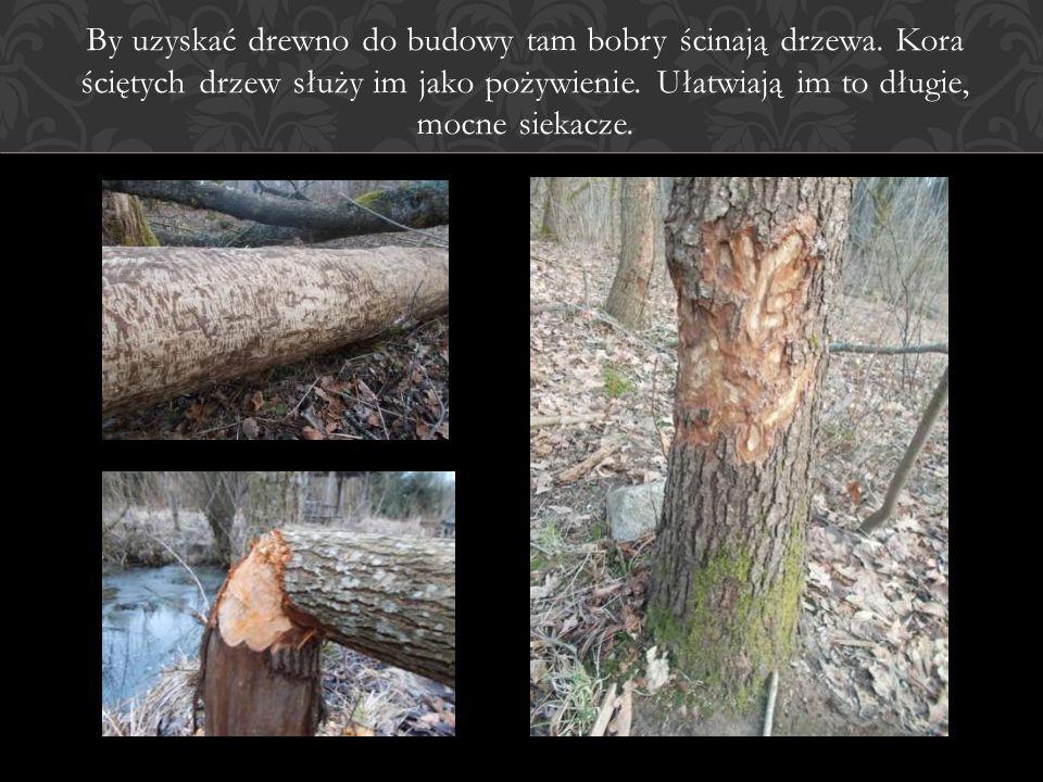 By uzyskać drewno do budowy tam bobry ścinają drzewa