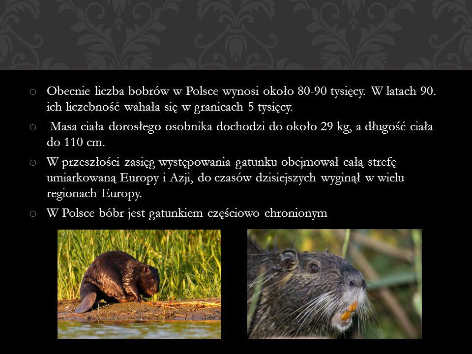 Obecnie liczba bobrów w Polsce wynosi około 80-90 tysięcy. W latach 90