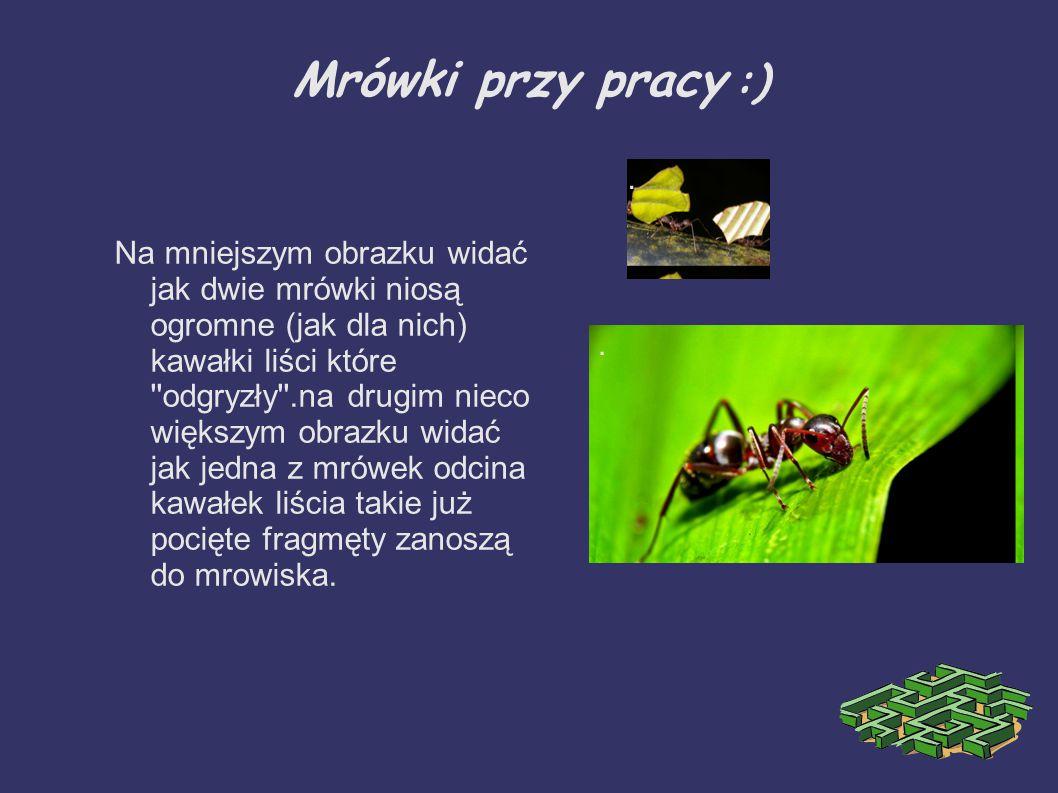 Mrówki przy pracy :) .