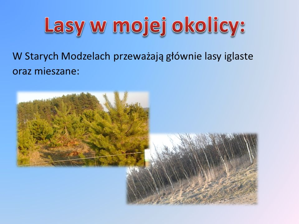 Lasy w mojej okolicy: W Starych Modzelach przeważają głównie lasy iglaste oraz mieszane: