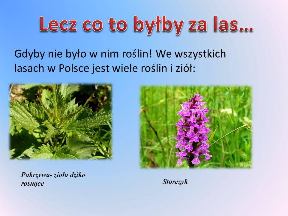 Lecz co to byłby za las… Gdyby nie było w nim roślin! We wszystkich lasach w Polsce jest wiele roślin i ziół:
