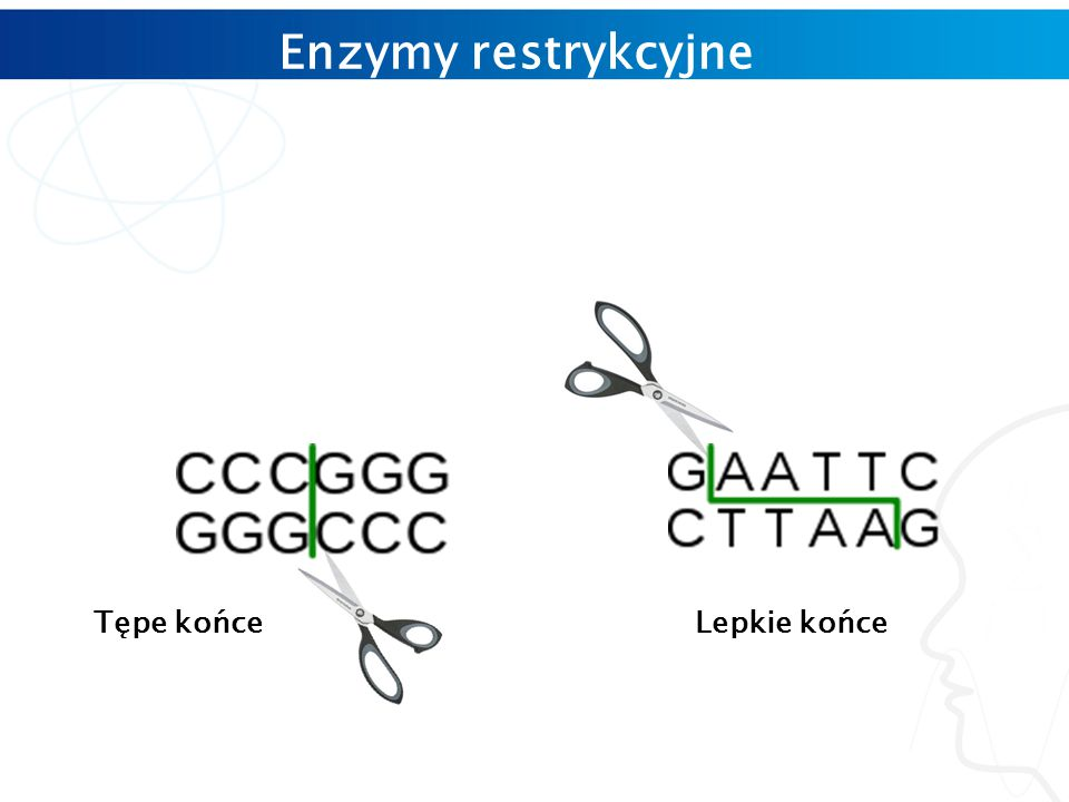 Enzymy restrykcyjne Tępe końce Lepkie końce