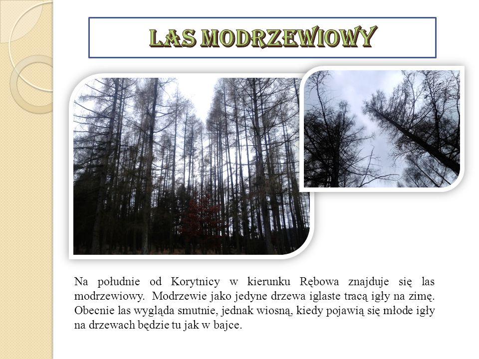 Las modrzewiowy