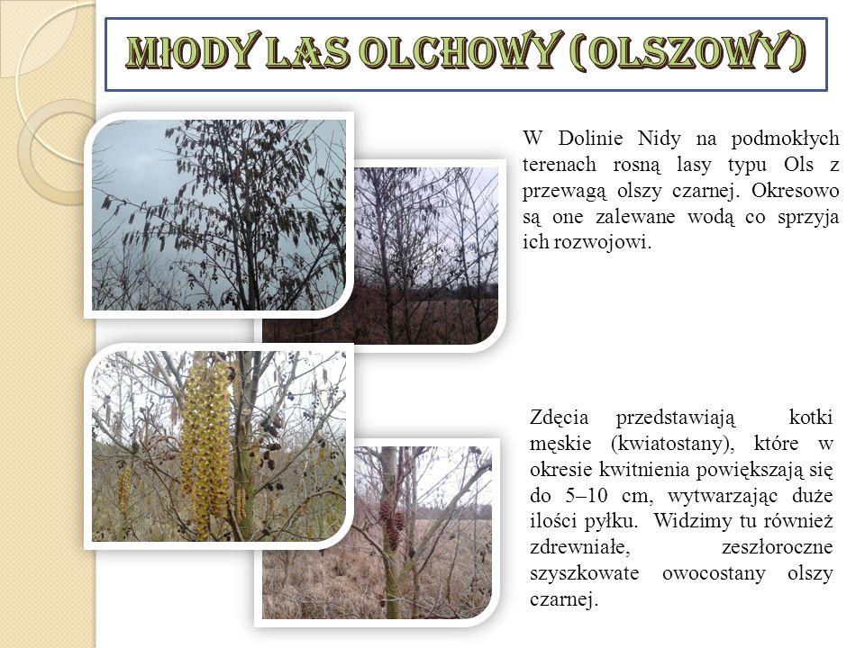 Młody las olchowy (olszowy)