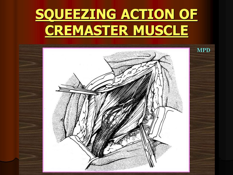 SQUEEZING ACTION OF CREMASTER MUSCLE