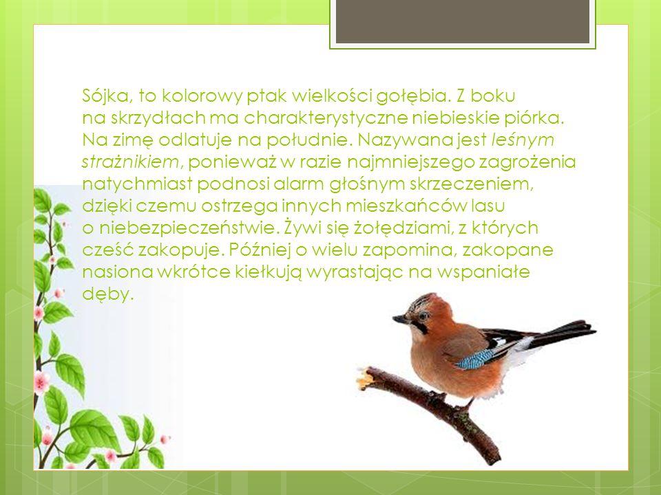 Sójka, to kolorowy ptak wielkości gołębia