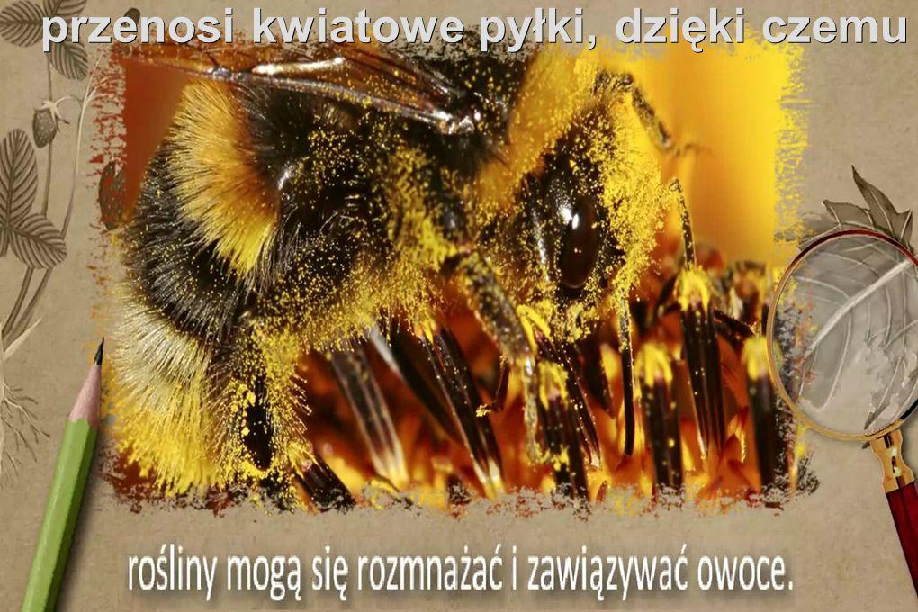 przenosi kwiatowe pyłki, dzięki czemu