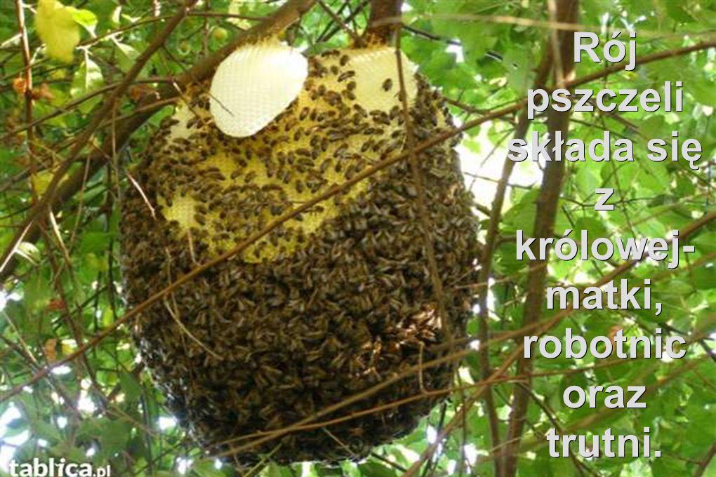 Rój pszczeli składa się z królowej-matki, robotnic oraz trutni.