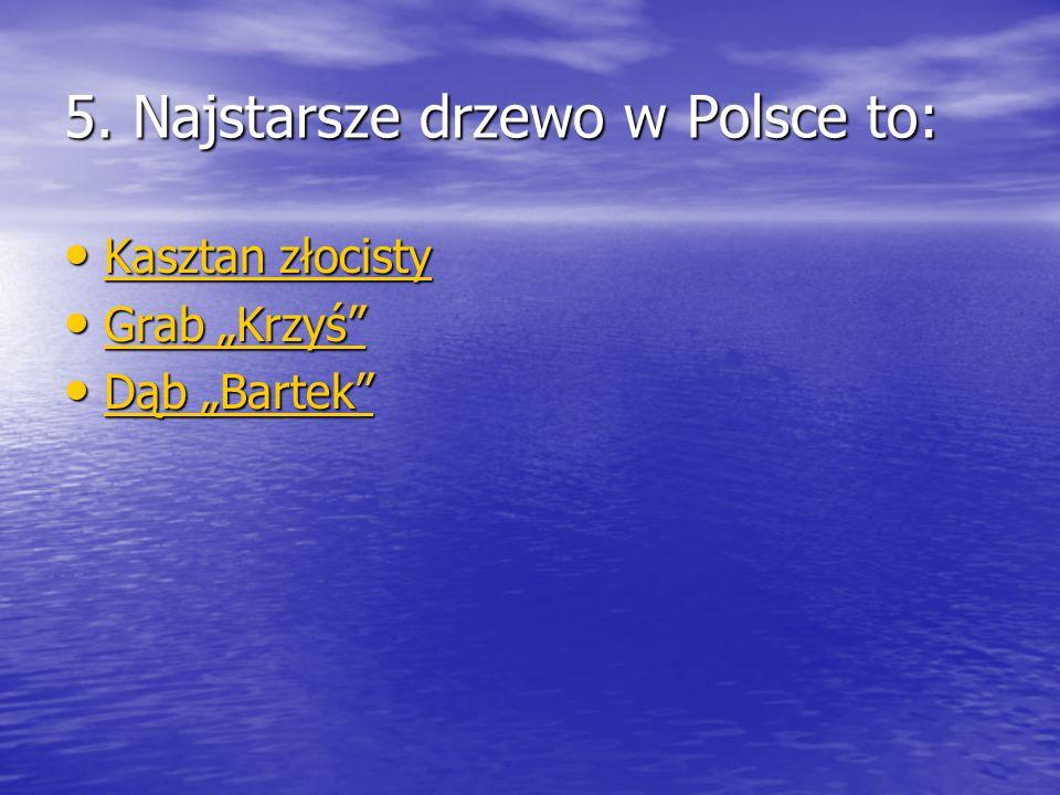 5. Najstarsze drzewo w Polsce to: