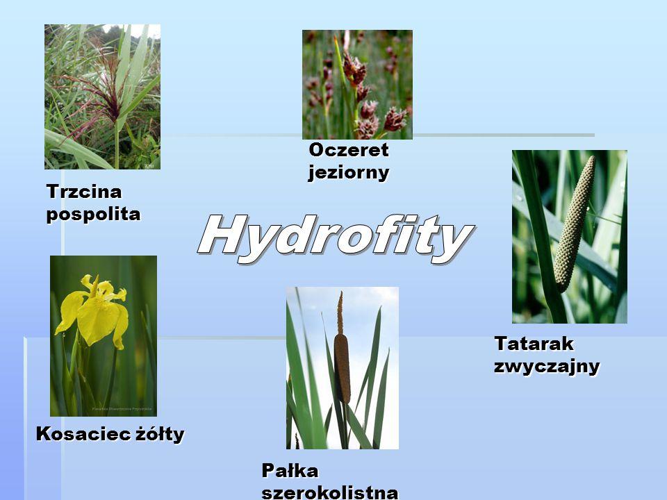 Hydrofity Oczeret jeziorny Trzcina pospolita Tatarak zwyczajny