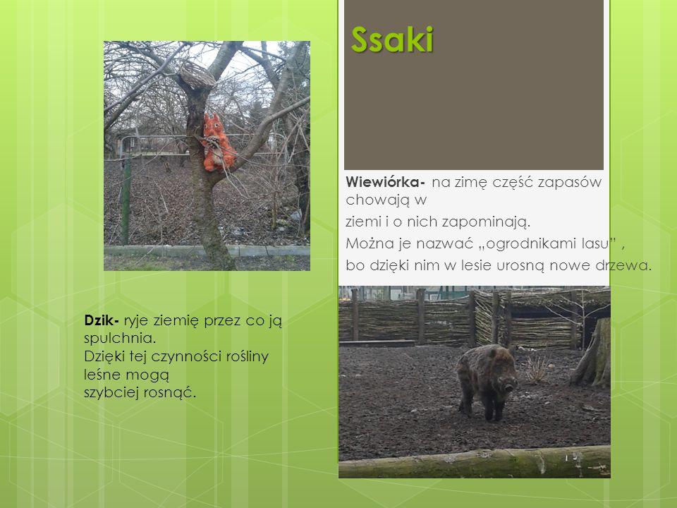 Ssaki Wiewiórka- na zimę część zapasów chowają w
