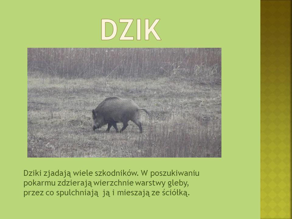 Dzik Dziki zjadają wiele szkodników.