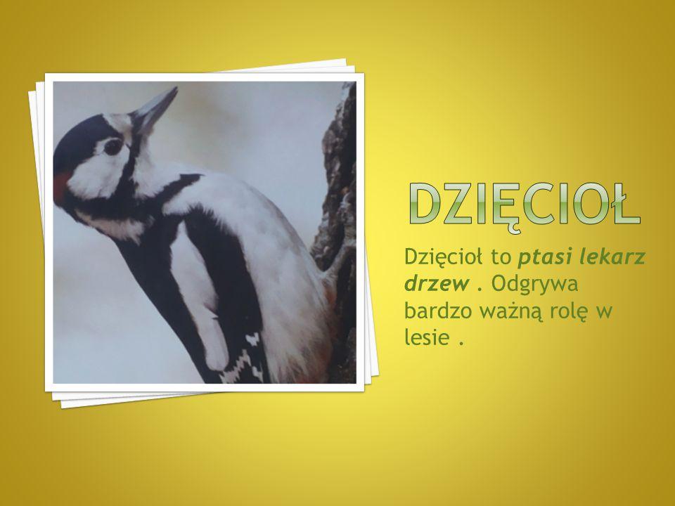 DZIĘCIOŁ Dzięcioł to ptasi lekarz drzew . Odgrywa bardzo ważną rolę w lesie .