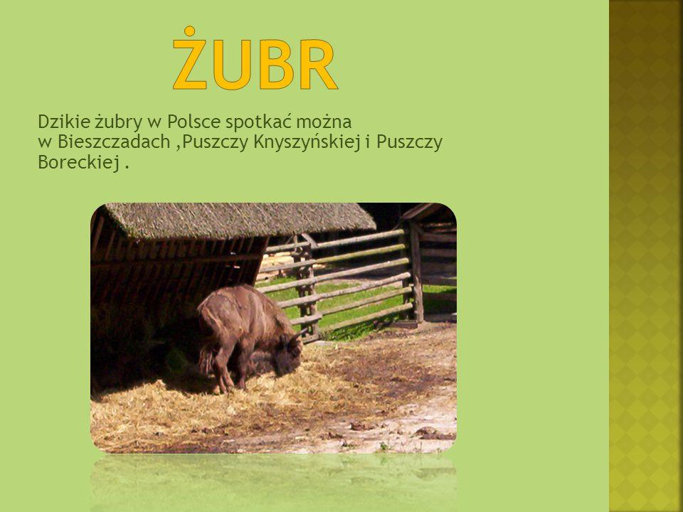żubr Dzikie żubry w Polsce spotkać można w Bieszczadach ,Puszczy Knyszyńskiej i Puszczy Boreckiej .