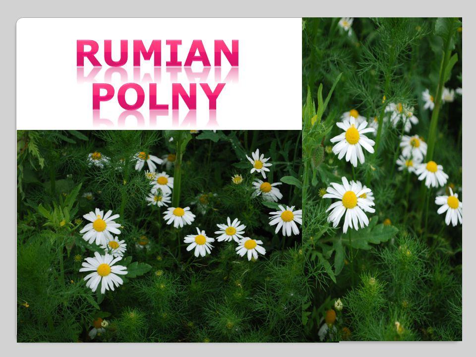 RUMIAN POLNY