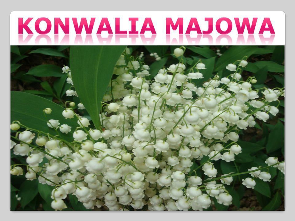 Konwalia MAJOWA