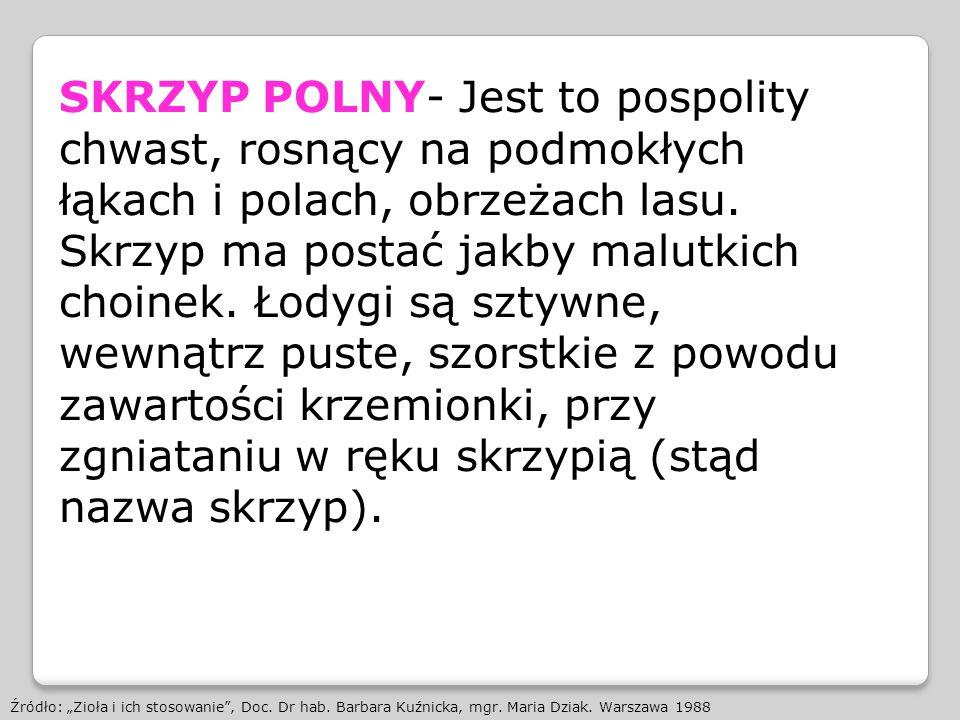 SKRZYP POLNY- Jest to pospolity chwast, rosnący na podmokłych łąkach i polach, obrzeżach lasu. Skrzyp ma postać jakby malutkich choinek. Łodygi są sztywne, wewnątrz puste, szorstkie z powodu zawartości krzemionki, przy zgniataniu w ręku skrzypią (stąd nazwa skrzyp).