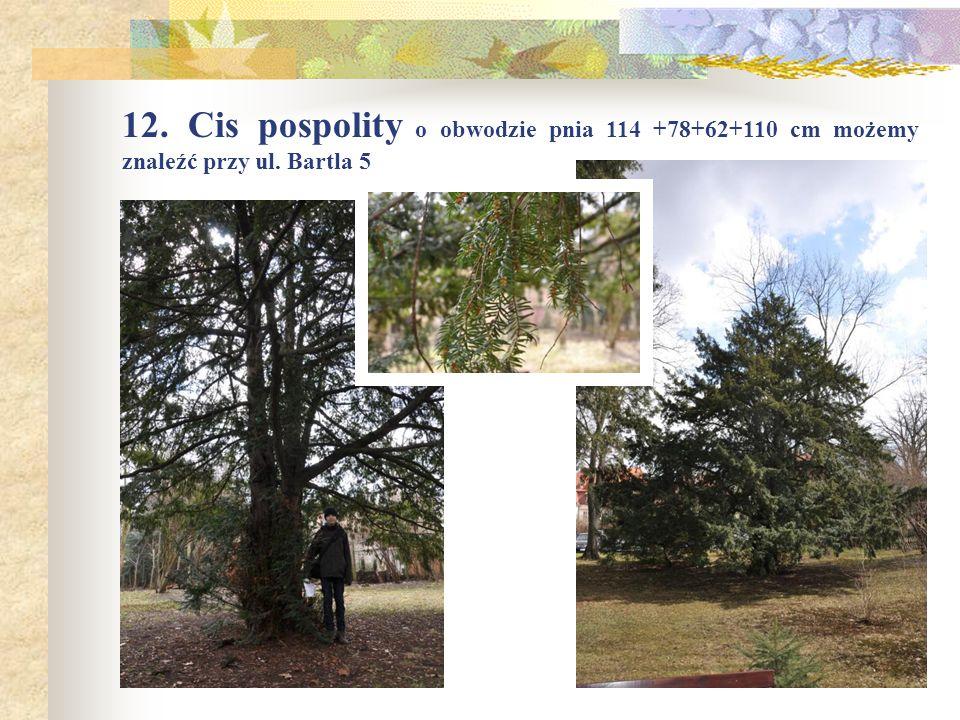 12. Cis pospolity o obwodzie pnia 114 +78+62+110 cm możemy znaleźć przy ul. Bartla 5