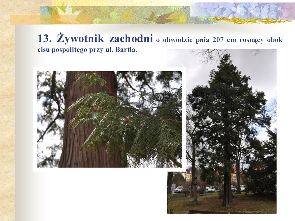 13. Żywotnik zachodni o obwodzie pnia 207 cm rosnący obok cisu pospolitego przy ul. Bartla.