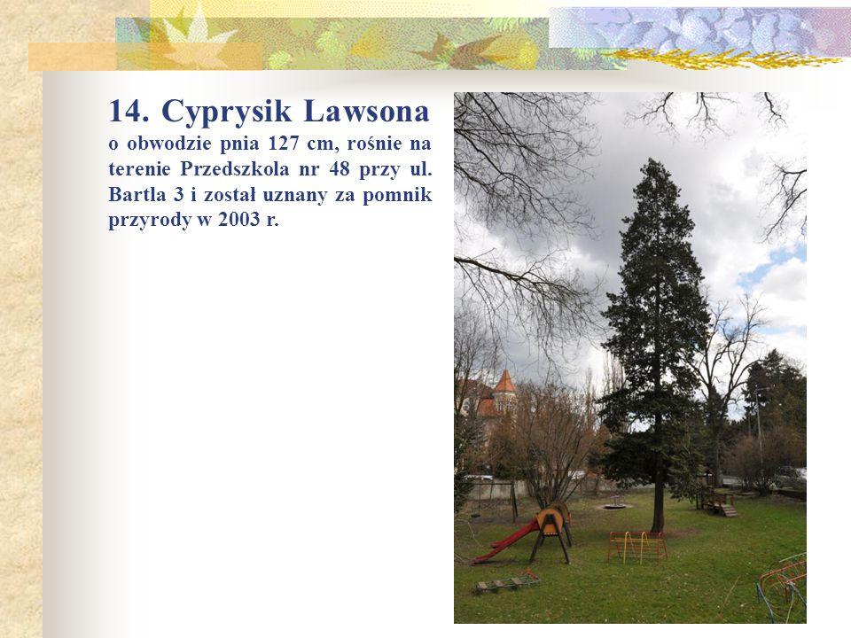 14. Cyprysik Lawsona o obwodzie pnia 127 cm, rośnie na terenie Przedszkola nr 48 przy ul.